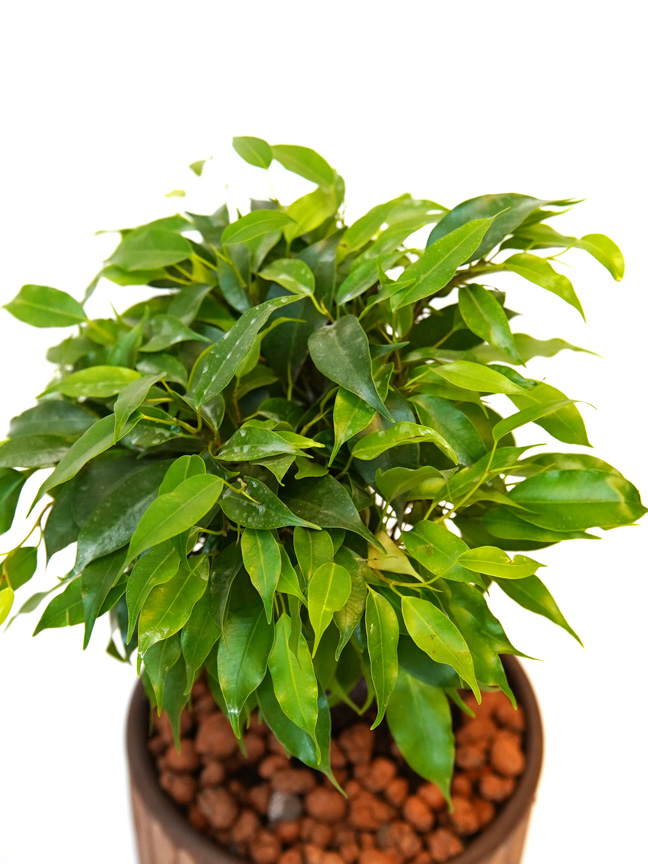 Ficus Natasja Office Plants Plants & Pots
