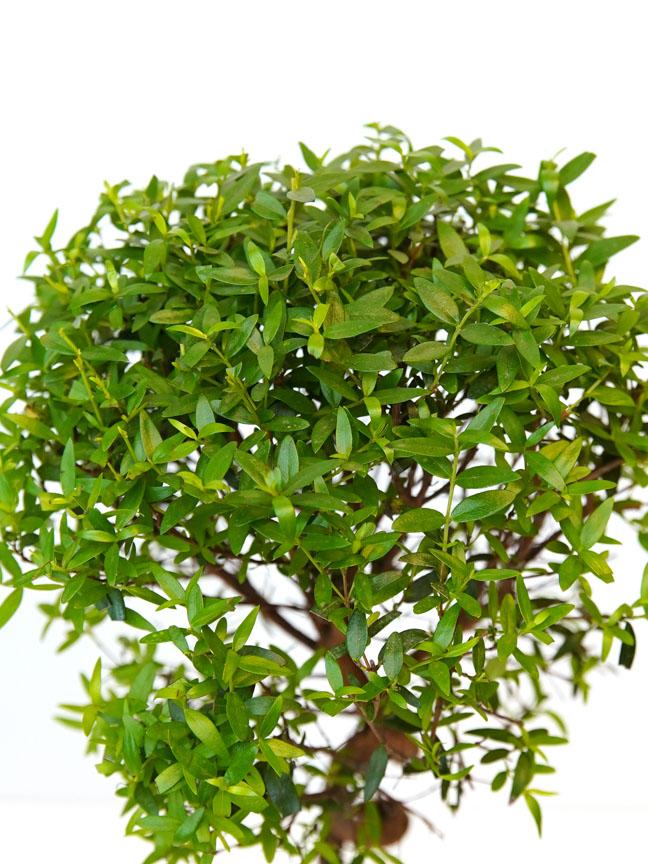ميرتوس كومليس نباتات للمكاتب نباتات و أواني