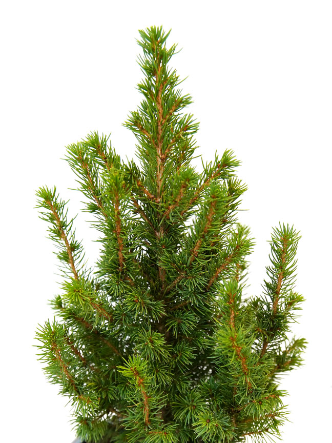 Picea Christmas plant Small Premium Collection Office Plants