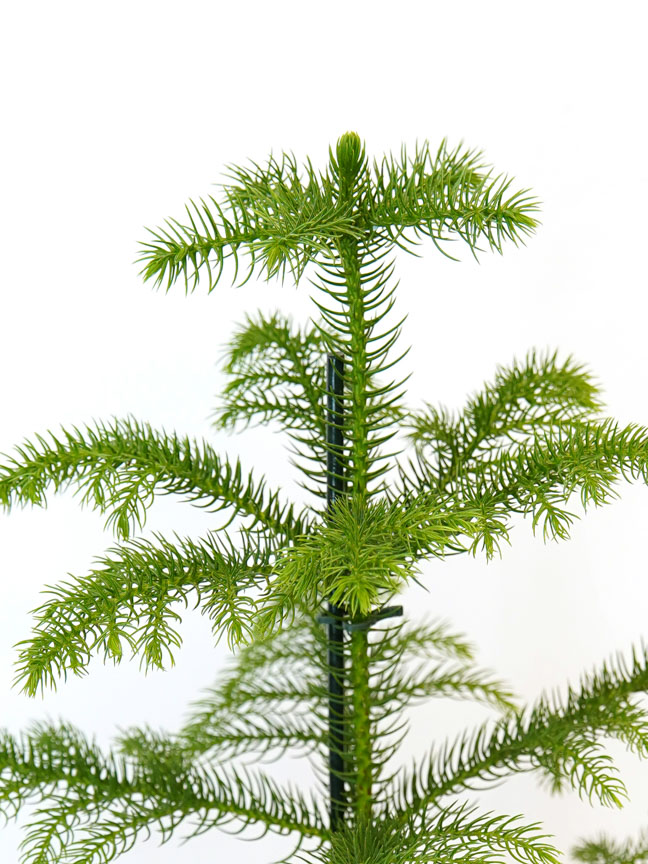 Araucaria Premium Collection Indoor Plants