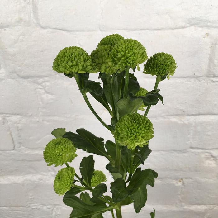 أقحوان أخضر  الزهور بالجملة زهور مقطوفة