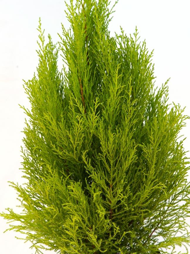 Cupressus Macrocarpa Indoor Plants Shrubs