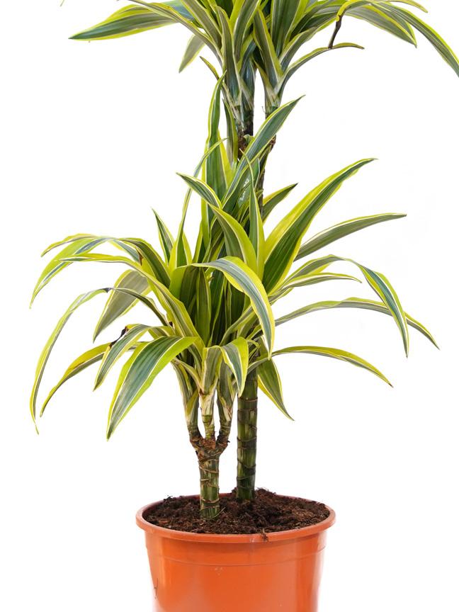 دراسينا ليمون لايم 'نباتات داخلية شجيرات