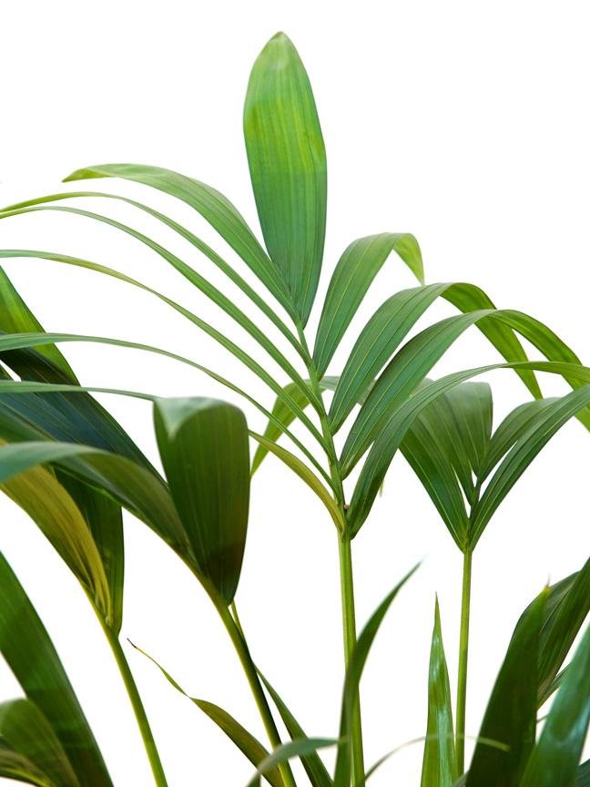 Kentia Indoor Plants Shrubs