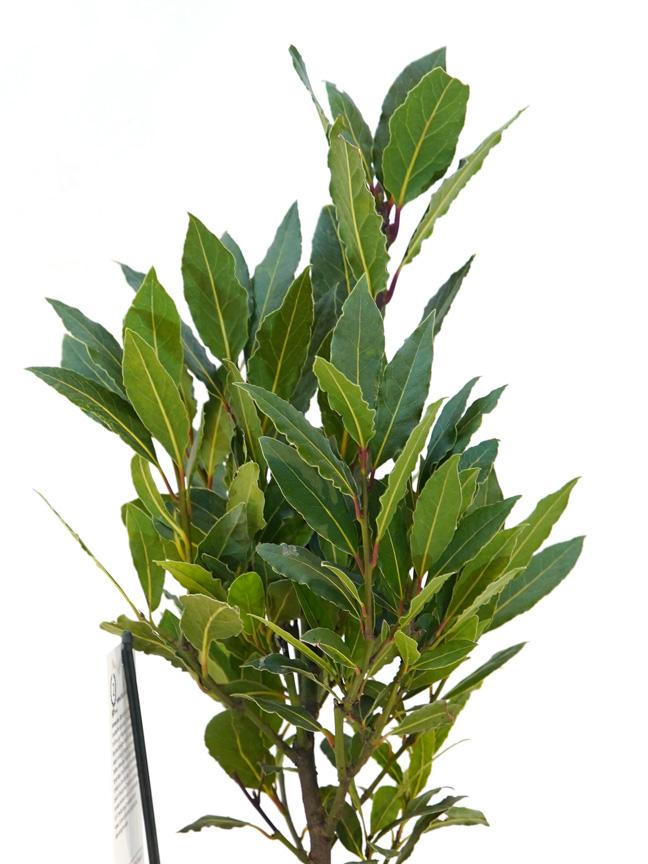 لوروس نوبيليس بوش 'نباتات داخلية شجيرات