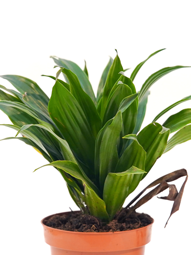 Dracaena Compacta Indoor Plants Shrubs