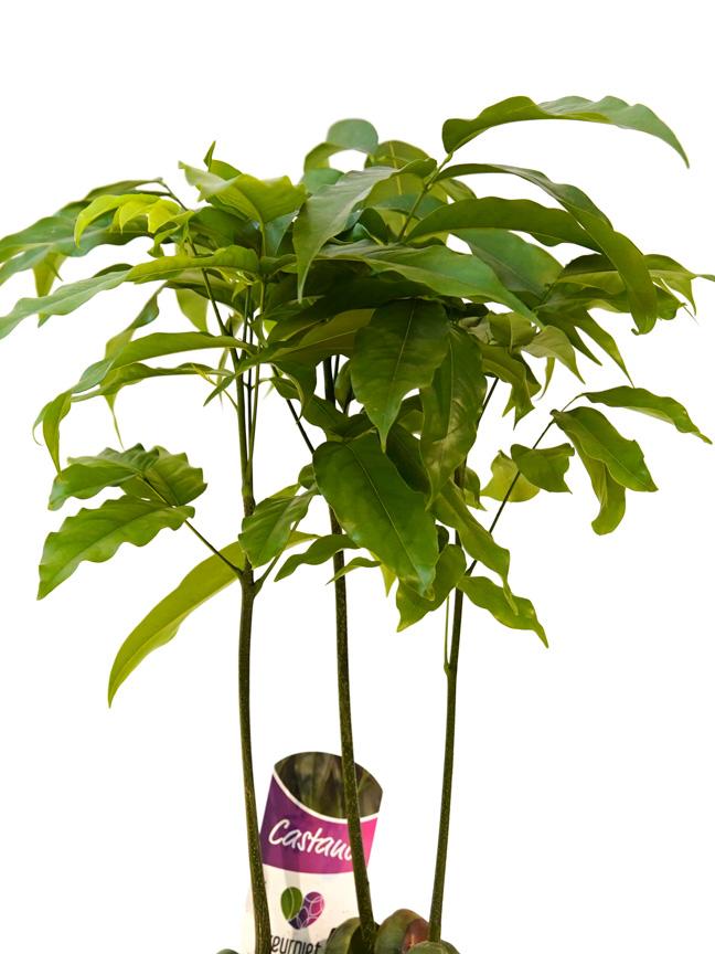 كاستنوسبيرمين نباتات داخلية شجيرات