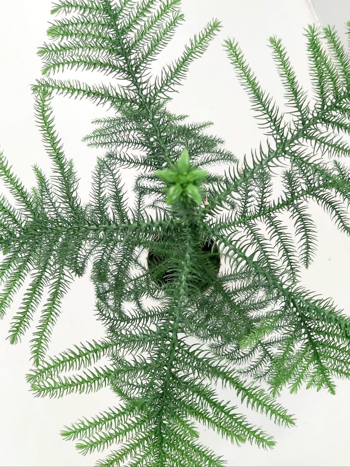أروكاريا  'نباتات داخلية شجيرات
