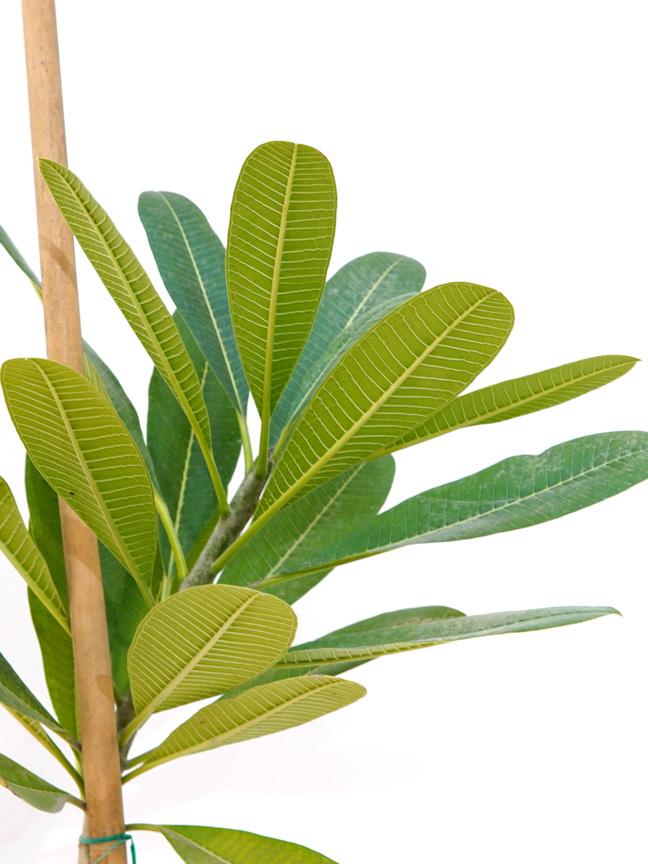 فتنة  -  بلوميريا أوبتوسا نباتات خارجية شجيرات