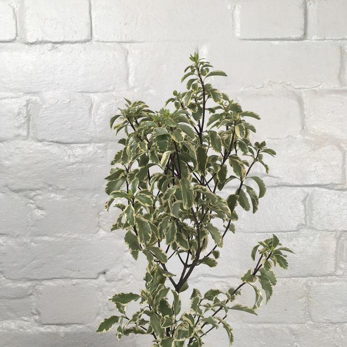 Pittosporum Variegated  Wholesale Flowers Cut Flowers