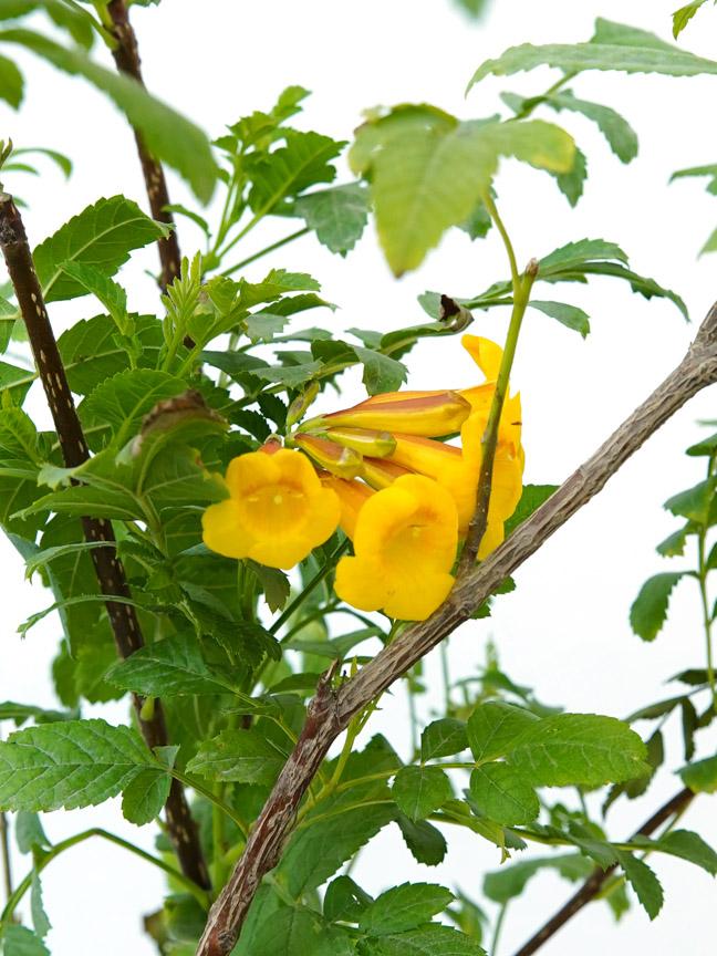 Tecoma  'Outdoor Plants Flowering Plants