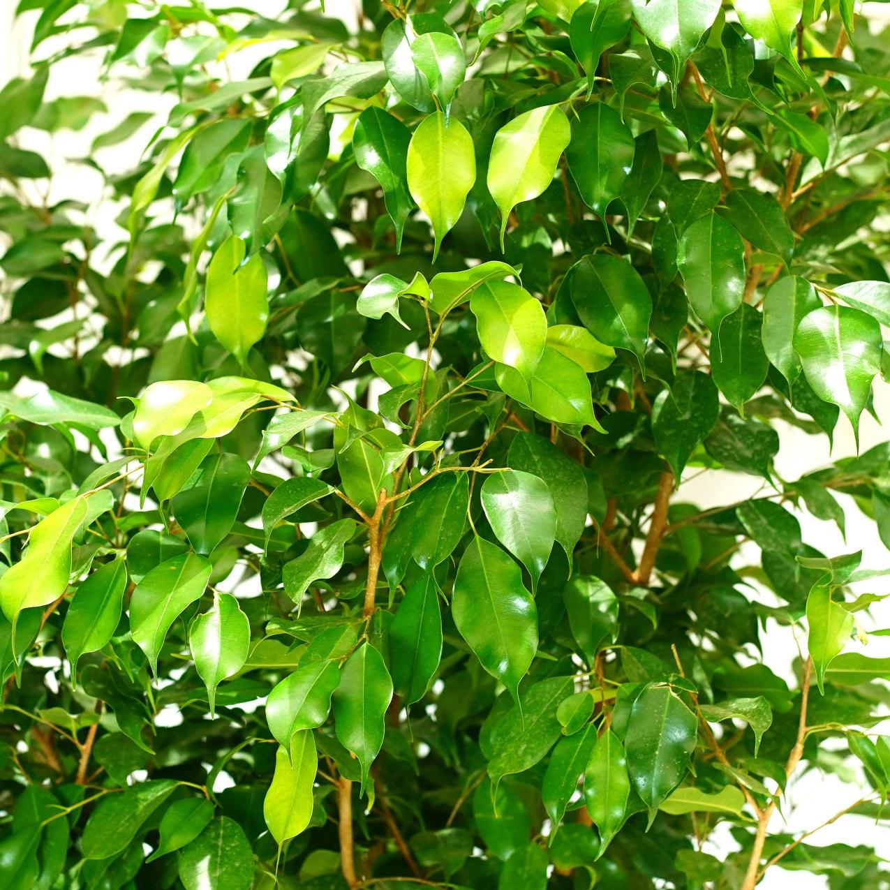 Ficus Binjamina Outdoor Plants Trees