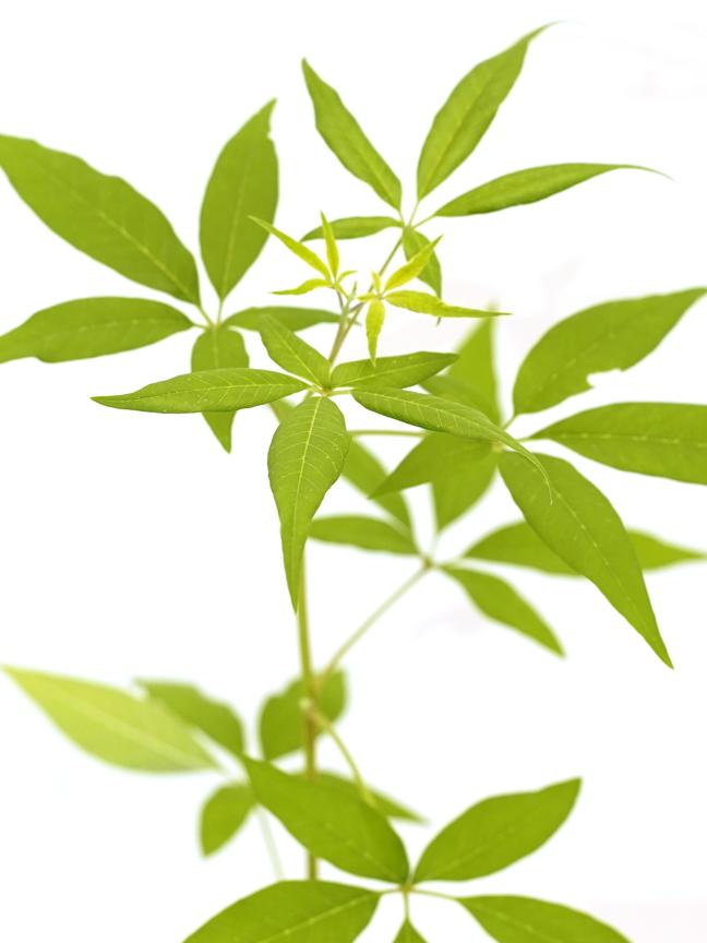 كف مريم نباتات خارجية شجيرات