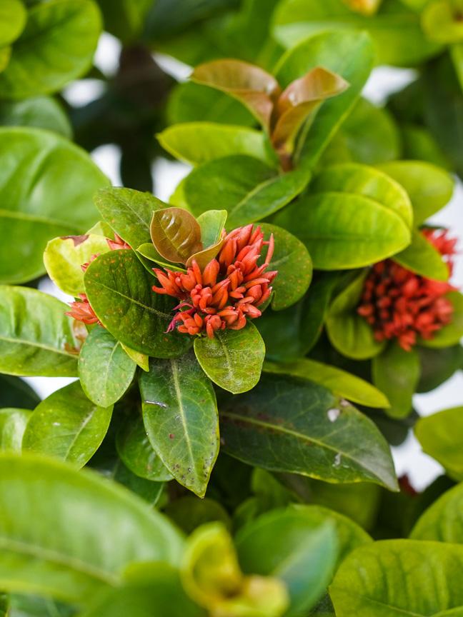 إيكسورا نباتات خارجية النباتات المزهرة