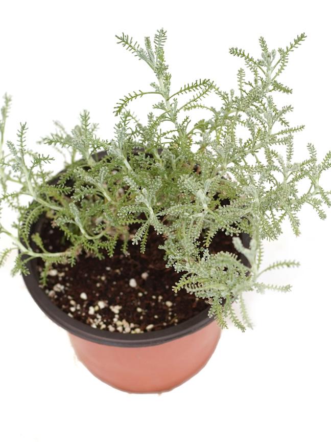 Sheeh - Herbs Outdoor Plants Herbs