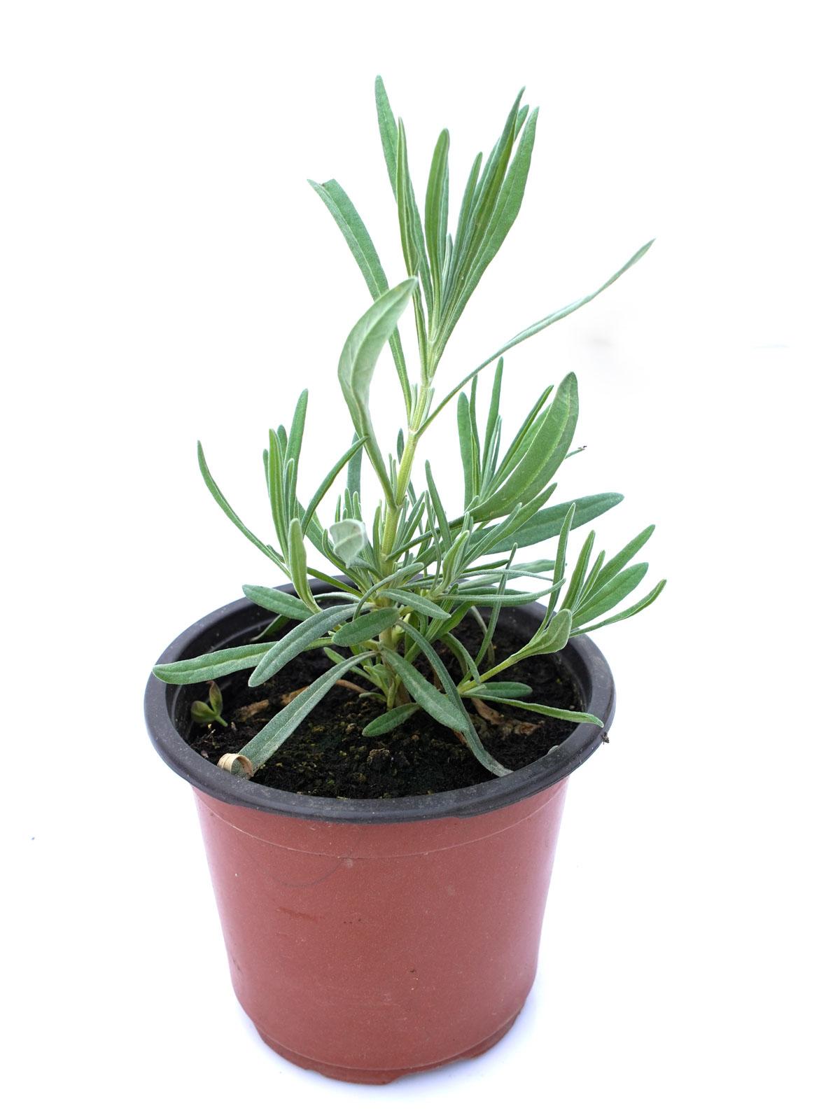 Lavender -Herbs - Lavandula   Outdoor Plants Herbs