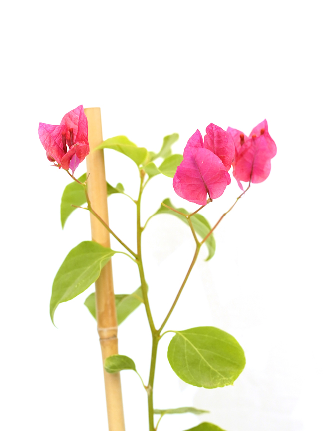 مجنونة عادية نباتات خارجية شجيرات