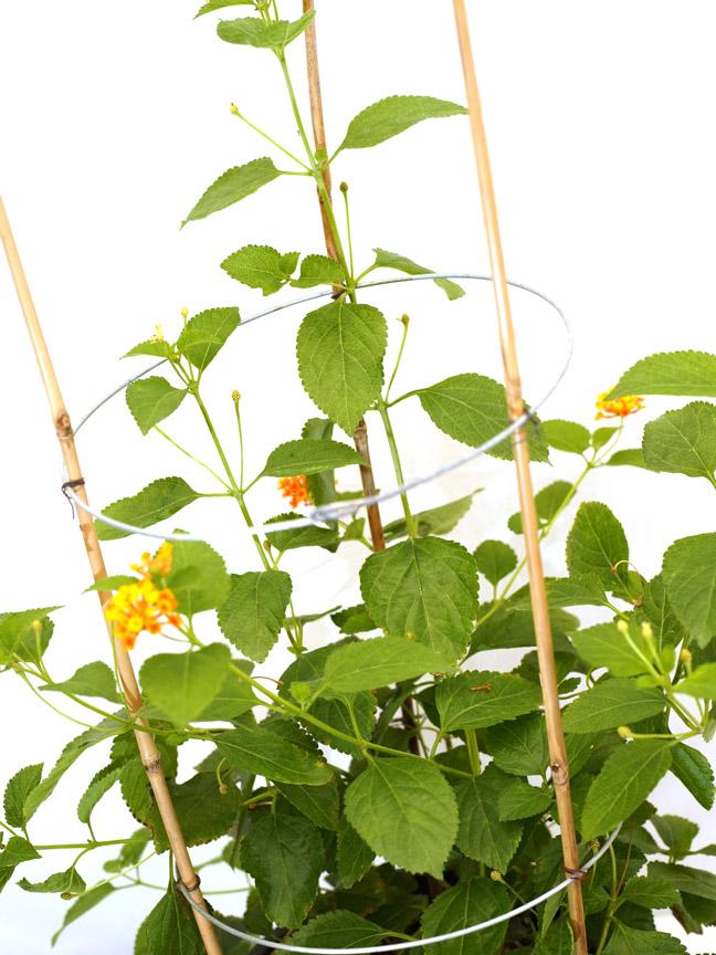 لانتانا ورد ملون 'نباتات خارجية النباتات المزهرة