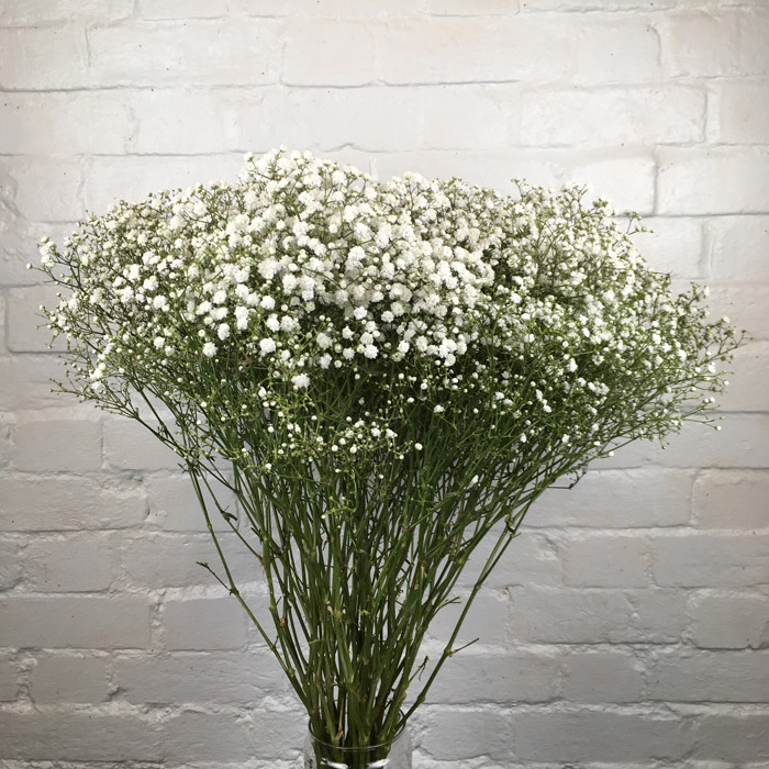 Gypsophila Wholesale Flowers Cut Flowers