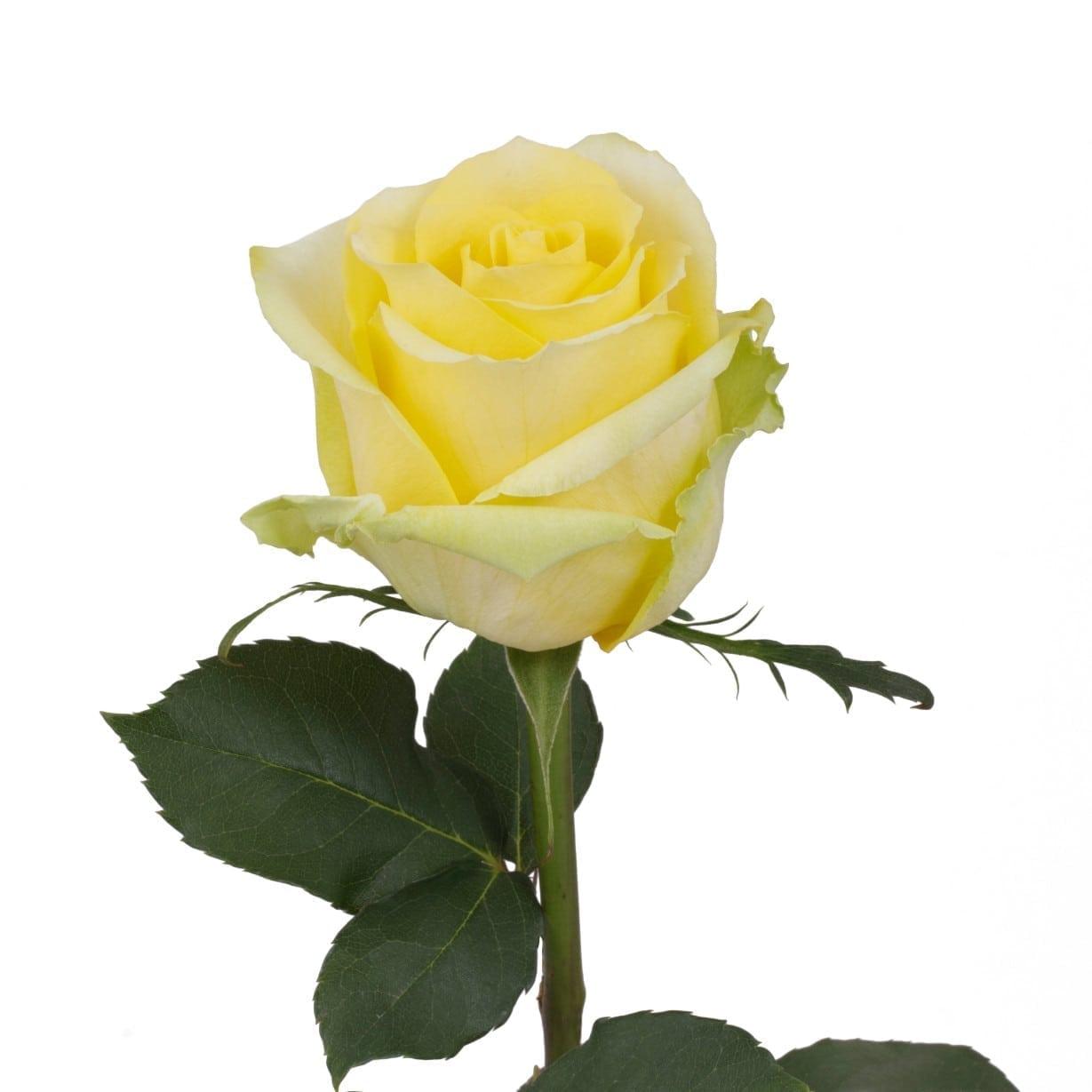زهور (أصفر غامق)  الزهور بالجملة زهور مقطوفة