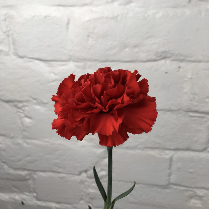 Carnation Red Wholesale Flowers Cut Flowers
