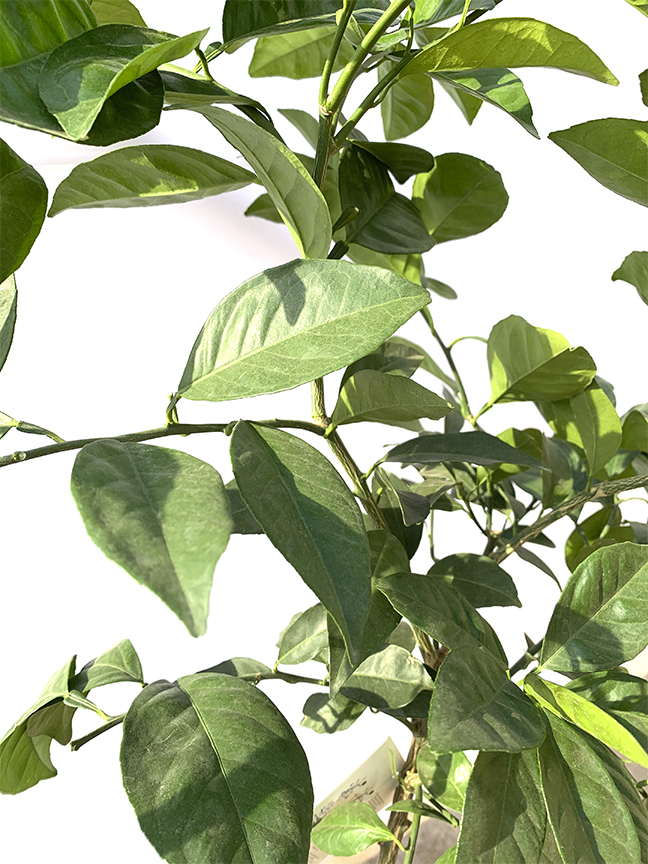 Orange  (SPAIN) Outdoor Plants Fruit Plants