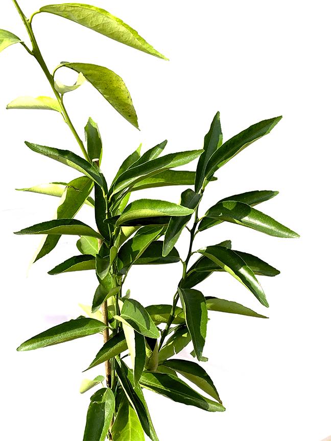 Mandarin (SPAIN) Outdoor Plants Fruit Plants
