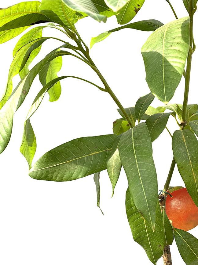 شجر المانجو إسبانيا نباتات خارجية نباتات الفاكهة