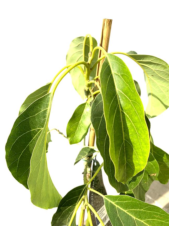 Avocado  (SPAIN) Outdoor Plants Fruit Plants