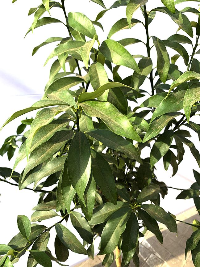 Fortunella Margarita (Orange Kumquat)  (SPAIN) Outdoor Plants Fruit Plants