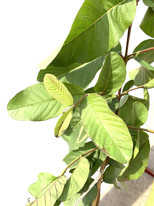 Guava  (SPAIN) 'Outdoor Plants Fruit Plants