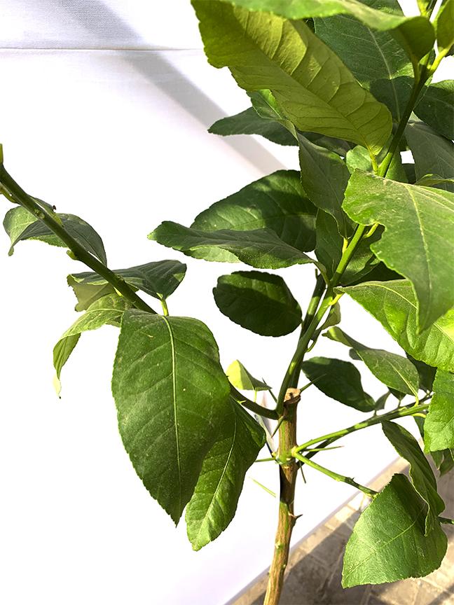 Citrus Lemon  (SPAIN) Outdoor Plants Fruit Plants
