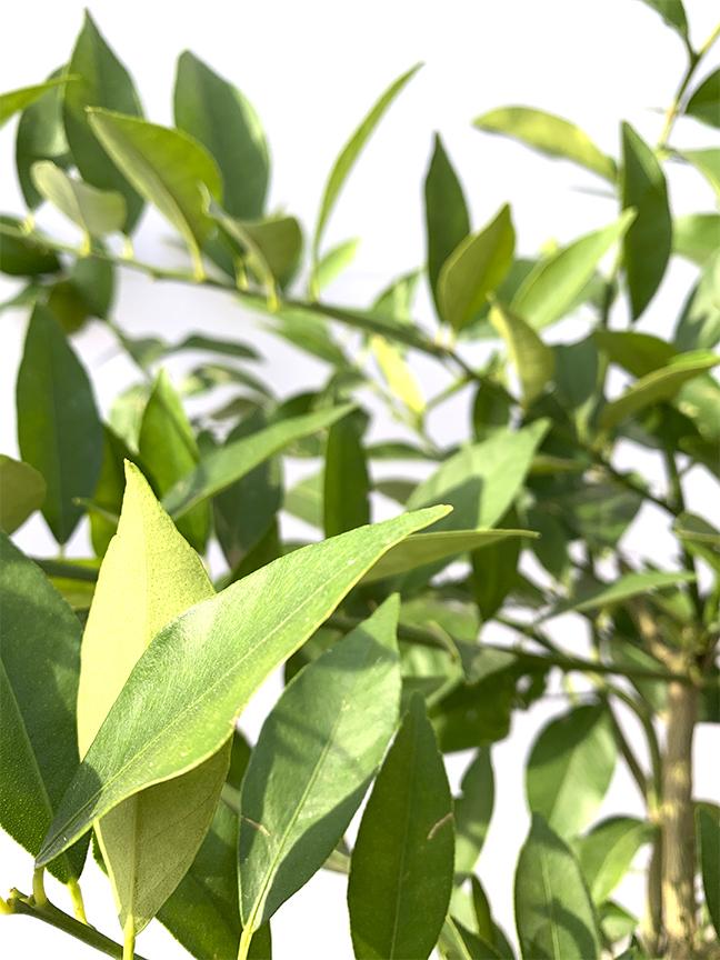 Citrus Aurantifolia  (SPAIN) Outdoor Plants Fruit Plants
