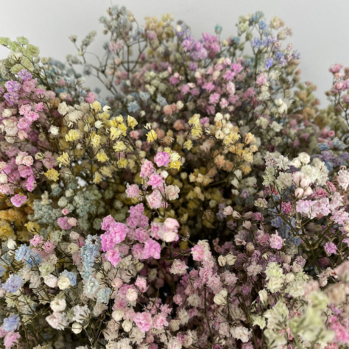Gypsophila dyed - rainbow mix Wholesale Flowers Cut Flowers
