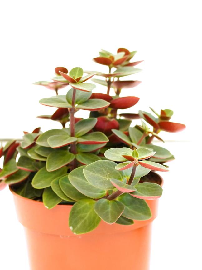 Peperomia Verticillata  'Indoor Plants Shrubs