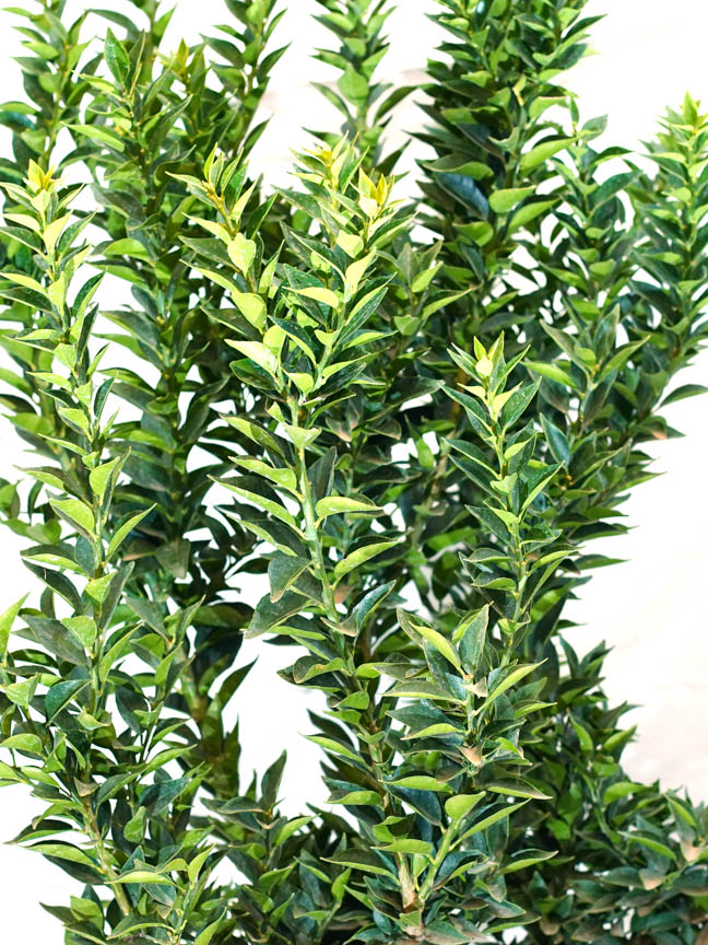 Chinotto Citrus Myrtifolia 'نباتات خارجية نباتات الفاكهة