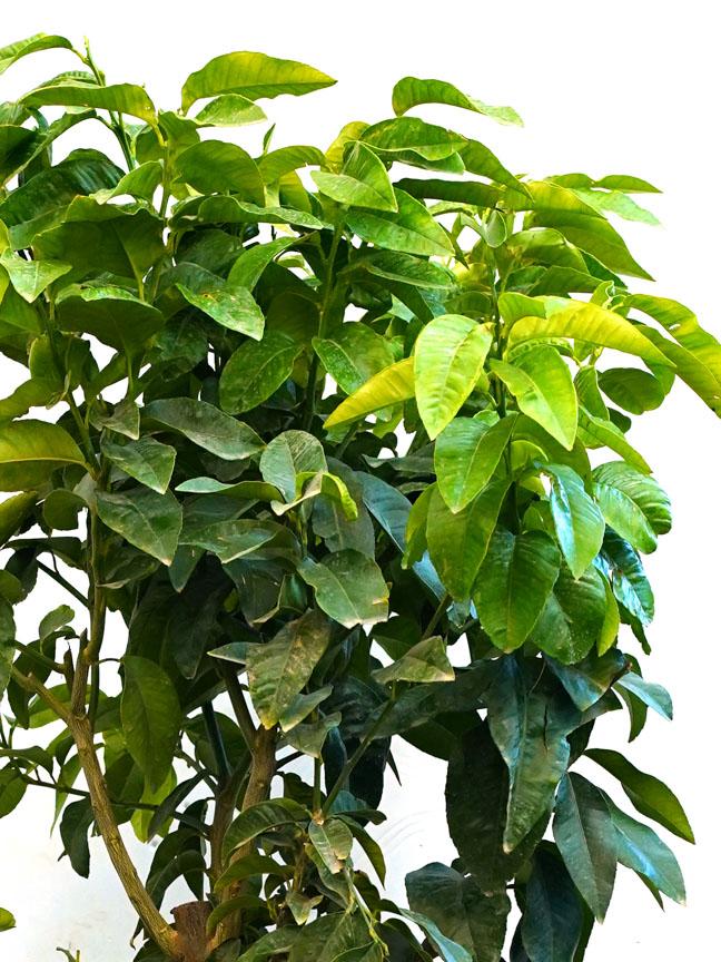 Citrus Bergamia 'Outdoor Plants Fruit Plants
