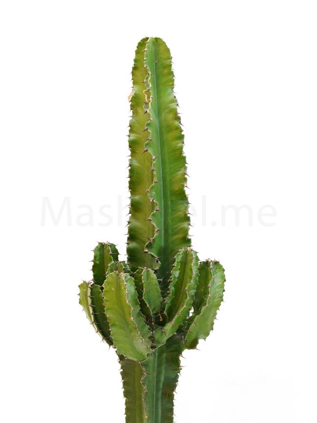 Euphorbia erythraea Indoor Plants Succulent