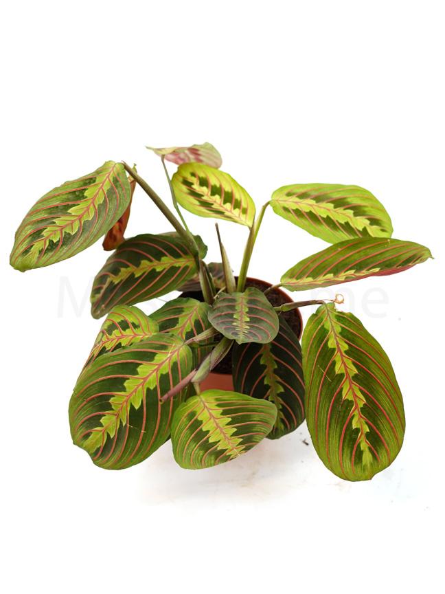 Maranta 'Indoor Plants Shrubs