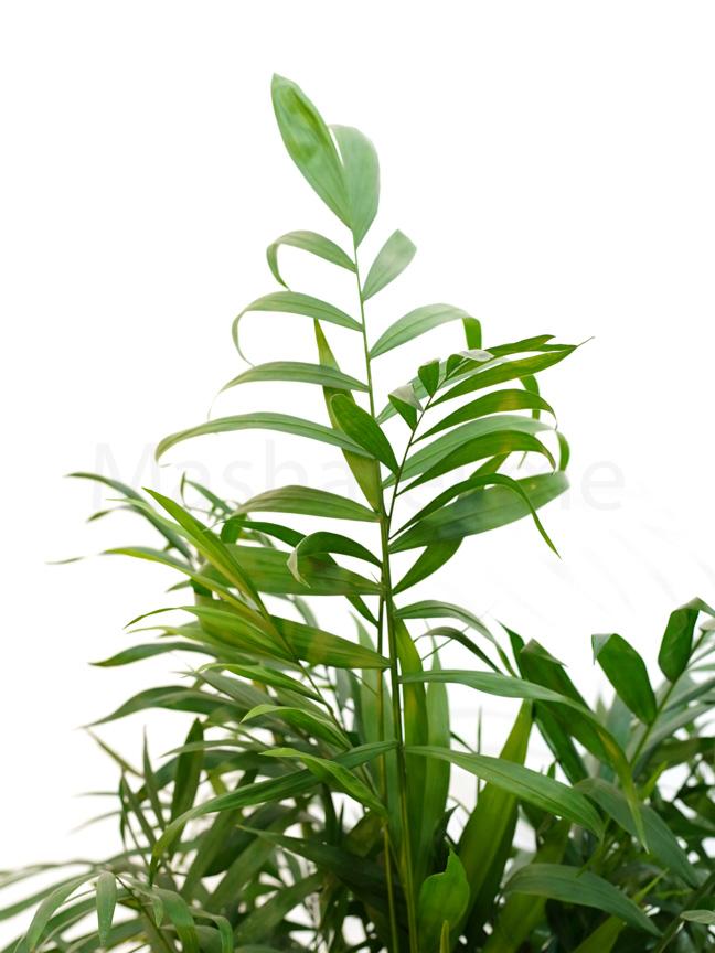 شاميدوريا إليجانس 'نباتات داخلية شجيرات
