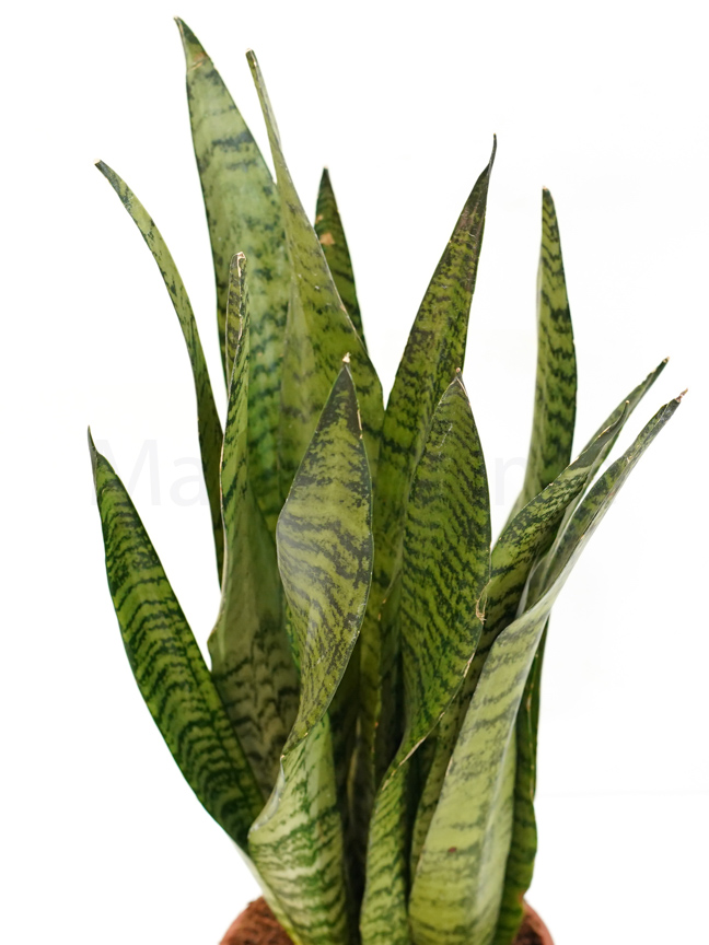 سانسيفيريا ترايفاشيا الإخضر 'نباتات داخلية عصاري