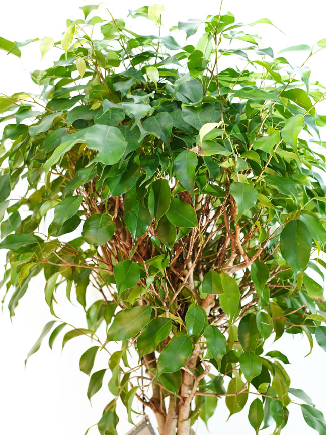 Ficus Benjamina Braid Indoor Plants Shrubs