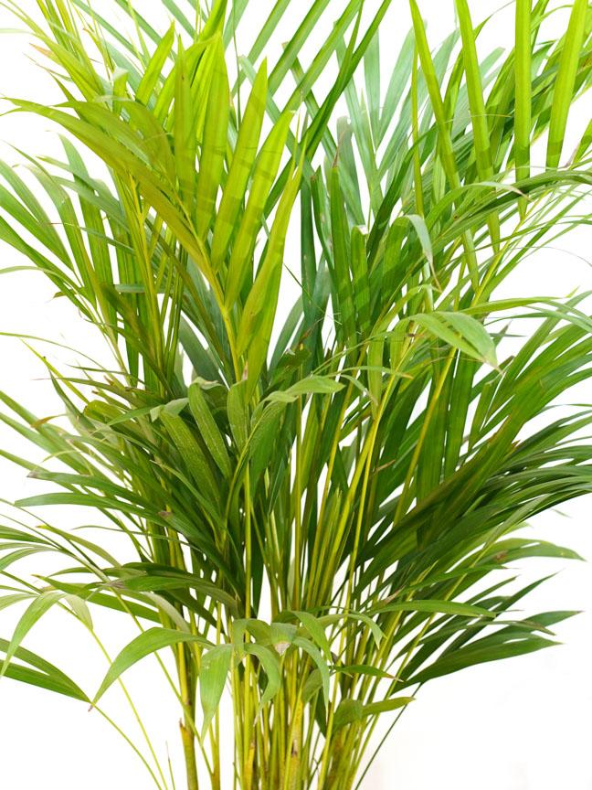 Areca Palm GREY Pot 'Indoor Plants Trees