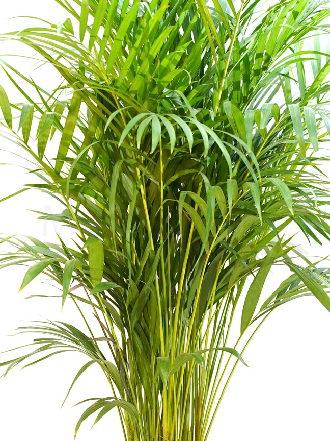 أريكا بالم نباتات داخلية أشجار