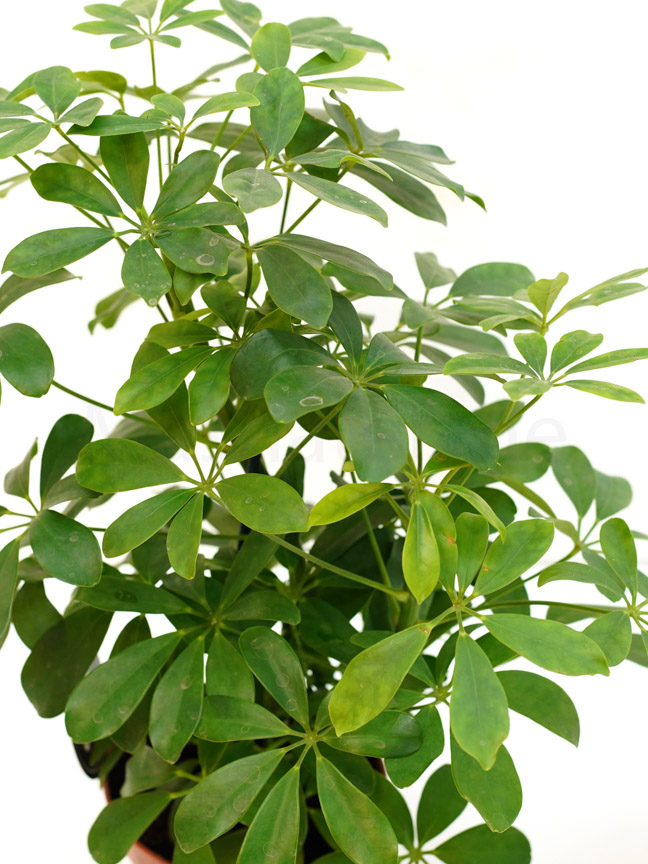Schefflera small Indoor Plants Shrubs