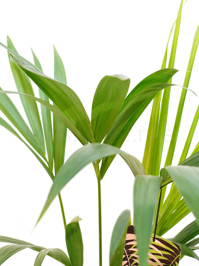 Kentia Indoor Plants Trees