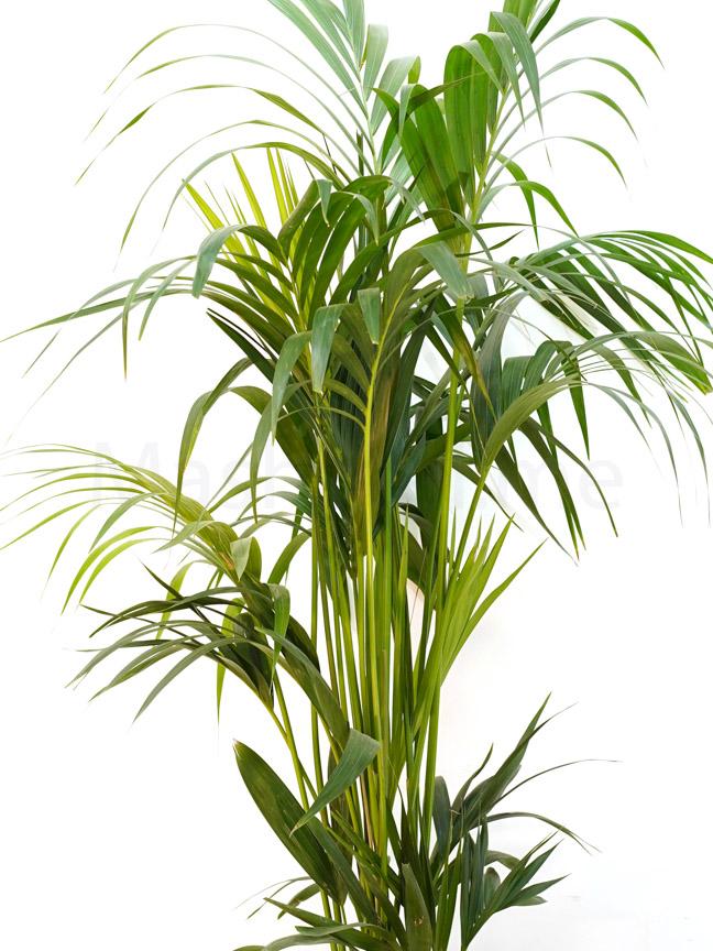 Kentia 'Indoor Plants Trees