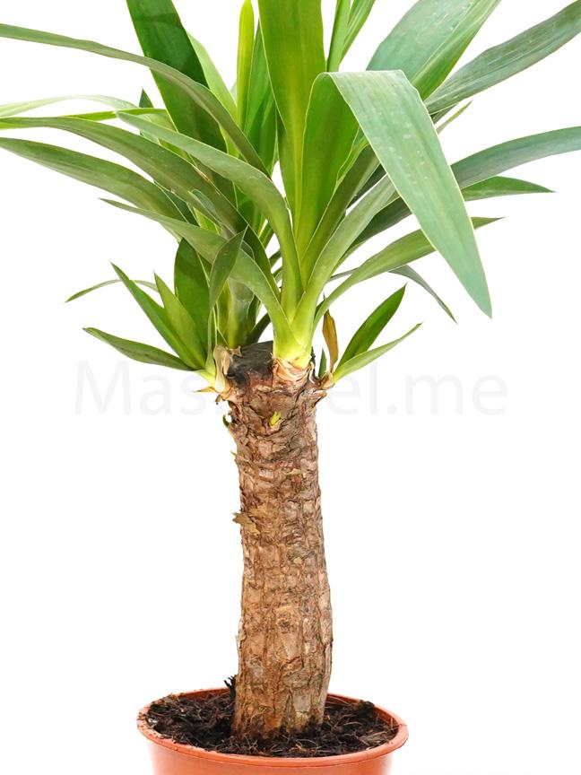 يوكا 'نباتات داخلية شجيرات