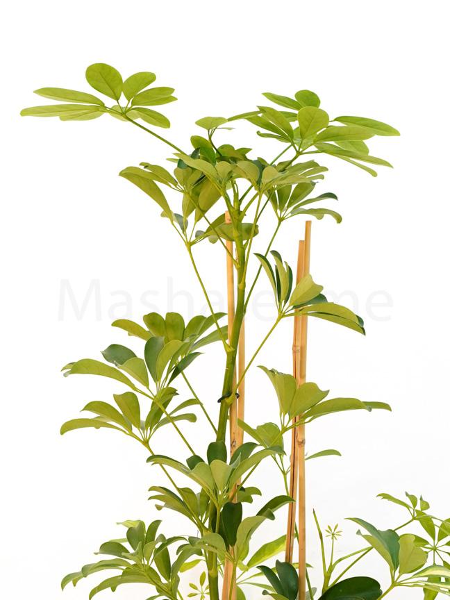 Schefflera 'Indoor Plants Shrubs