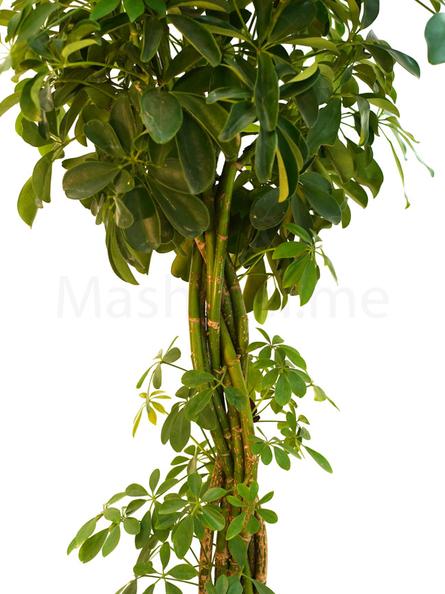 schefflera twisted plant  Indoor Plants Trees